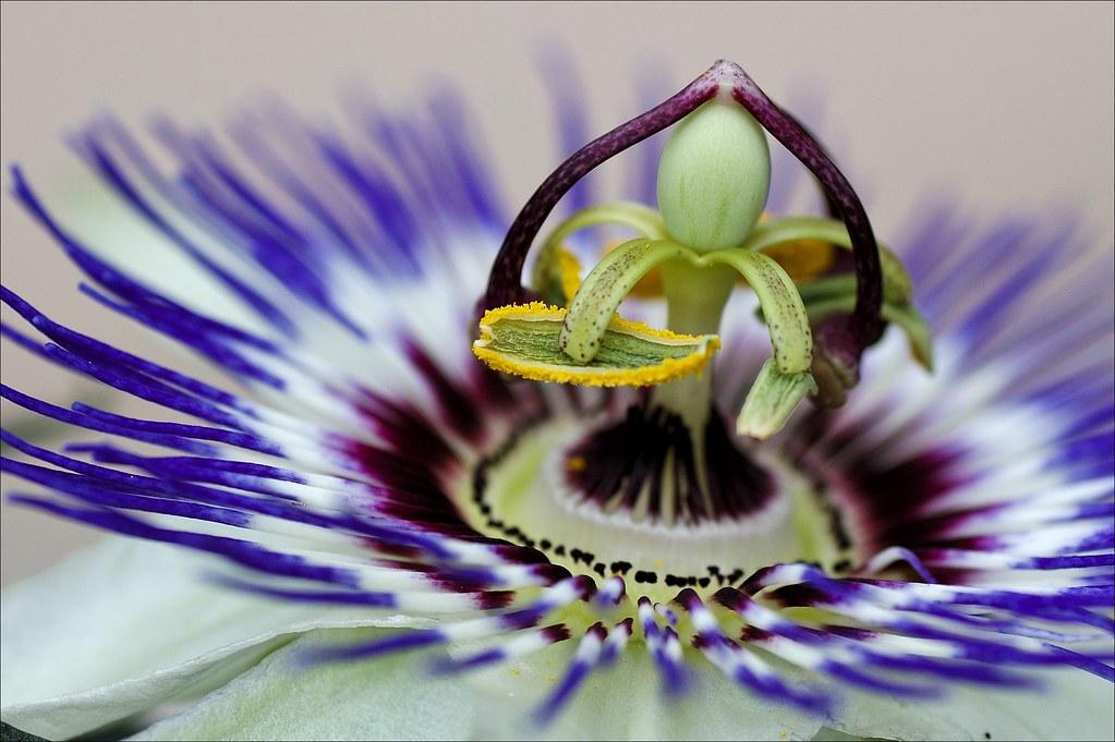 be20cdb3c  quot the flower of the passion quot  Passiflora (Flavio Ciarafoni).  Passiflora Caerulea - Fiore della passione ...
