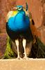 Powis Peacock
