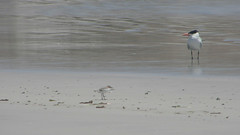 Caspian Tern & Red-capped Plover on Lipson Cove Beach (danimations) Tags: birds shorebirds caspiantern redcappedplover lipsoncove lipsonisland