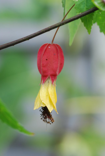 Trailing Flowering Maple