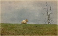 It is lonely at the top! (bonnie5378) Tags: friends tree cow farm carousel natures textured countrylife photosofqualitytosmileabout darkwood67 oct2012 bestevercompetitiongroup bestevergoldenartists worldofeleganttextures