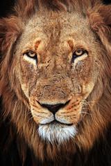 The King's Face (Xenedis) Tags: africa animal cat southafrica wildlife lion safari bigcat afrika simba rsa krugernationalpark mpumalanga krugerpark bigfive gamedrive timbavati pantheraleo republicofsouthafrica motswari timbavatiprivatenaturereserve motswariprivategamereserve ximpoko