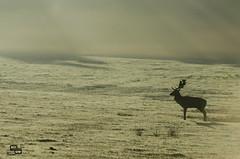 Deer in the Mist 1 (Daryl_Porter) Tags: people sunlight mist animal fog sunrise landscape other frost stag wildlife deer antlers dp fallow reddeer sunbeams rut bradgatepark nikkor55200mm darylporter fellowdeer d5100 daryleporter daryleportercom