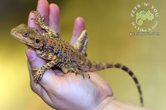 Clown Agama (WabbyTwaxx) Tags: york red pets shop golden store you pennsylvania painted clown lion n pa agama