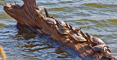 Turtles Sunning (Bob G. Bell) Tags: nature animals turtles kentuckylake kentuckywildlife reptles
