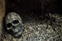 Skull and Spider (MMphotographyLondon) Tags: halloween dark dead death skull spider scary dangerous die darkness nest head fear gothic hell goth ground creepy tarantula end horror inferno devil nightmare poison hiding webs teschio mistery ragno misterious tarantola poisonus