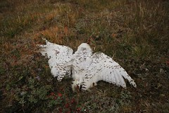 Snowy Owl Deceased Wrangel Island UNESCO World Heritage Site Russia Arctic (eriagn) Tags: travel flowers autumn summer plants history nature spectacular landscape dead skulls skeleton death ancient flora skies russia timber wildlife teeth documentary dramatic unescoworldheritagesite naturalhistory arctic explore mammoth bones remote geography geology polar vole habitat volcanic survival climate cloudscape isolated topoftheworld tundra lemming fossils tusk stoney undulating snowyowl shale muskox fossilized arcticfox wrangelisland schist travelphotography berengia polarregion russiafareast arcticflora arcticflowers heritageexpeditions eriagn ngairelawson scientifichuts