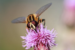 Hoverfly (Norbert Králik) Tags: detail macro bokeh hoverfly canonef100mmf28macrousm canoneos40d