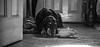 Watching (Nero Creative) Tags: dog pet canon 5d doberman dogportrait