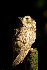Long Eared Owl (Wildlifestudios) Tags: long hampshire owl eared hawkconservancy