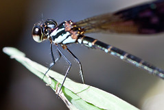 Heliocypha biforata - male (GaryOConnor) Tags: macro male insects sarawak malaysia borneo damselfly odonata heliocypha biforata