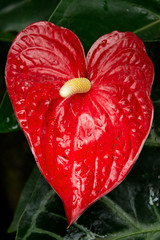 Love II (Kate H2011) Tags: uk red england flower macro green love nature closeup leaf close heart unitedkingdom anthurium shining 2012 flamingoflower canonefs1855mmf3556 paintedtongue livingrainforest katehighley