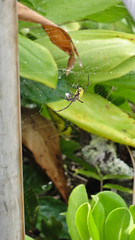DSC09277 (toddity) Tags: hawaii spider spiderweb maui roadtohana oheogulch