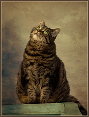 What goes up, must come down ! (FocusPocus Photography) Tags: portrait texture cat feline chat tabby kitty portrt gato katze cleo birdwatching getigert textur tigerkatze kissablekat lenabemanna sunrays5