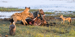 """Buffalo kill with Hyena and Jackel • <a style=""""font-size:0.8em;"""" href=""""https://www.flickr.com/photos/21540187@N07/8347796018/"""" target=""""_blank"""">View on Flickr</a>"""