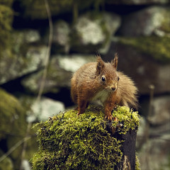the mossy stump (Black Cat Photos) Tags: wood red wild cute green eye nature forest fur moss furry squirrel eyecontact wildlife yorkshire adorable reserve whiskers stump lush mossy squiggle dales protected yorkshiredales tufty redsquirrel hawes sciurusvulgaris eary mossystump eyetoeye