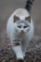 winter pet cats animal cat denmark feline blueeyes 5d fullframe danmark 2013 scandianvia 5dmarkii pamhule jensschott jensschottknudsen 佳能eos5dmarkii