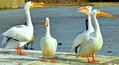 American White Pelican (Pelecanus erythrorhynchos) 2 (Meridith112) Tags: white chicago bird pelicans birds zoo illinois nikon pelican il american brookfield cookcounty zoos brookfieldzoo americanwhitepelican pelecanus pelecanuserythrorhynchos cookcountyforestpreserve erythrorhynchos nikond7000