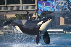 (Megakillerwhales) Tags: ocean dolphin dolphins whale whales orca oceans corky seaworld orkid killerwhale orcas killerwhales nakai seaworldsandiego keet shouka kalia orcawhales cetaceans cetacean ulises ikaika orcawhale corky2 oneocean kasatka nalanidreamer megakillerwhales
