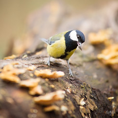 Msange charbonnire, great tit (Zed The Dragon) Tags: wild bird speed jaune french geotagged rouge effects photography iso200 photo flickr tits minolta photos bokeh sony main vert full frame gorge fullframe alpha antony parc postproduction franais greattit sal zed oiseaux 2012 francais sceaux lightroom f50 effets msange 200mm parcdesceaux 24x36 a850 0004sec sonyalpha hpexif alpha350 minoltaapo 80200apog parcsceaux dslra850 alpha850 zedthedragon minoltaapo80200hs charbonnire