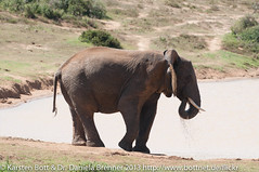 """Cape Elefant • <a style=""""font-size:0.8em;"""" href=""""http://www.flickr.com/photos/56545707@N05/8365690250/"""" target=""""_blank"""">View on Flickr</a>"""