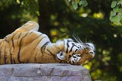 On the back... (Tambako the Jaguar) Tags: wild cliff cute rock cat zoo switzerland back big nikon feline funny tiger resting zrich siberian lying amur d4