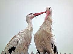 You've got something there (mion.nl) Tags: summer stork ooievaar specanimal copyrightmionnl