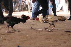 cockfight (vijay_chennupati) Tags: india festival cockfight pongal sankranti andhrapradesh bhimavaram vempa kodipandem