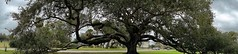 Live Oak - Christian Brothers - City Park - New Orleans, LA (Paul Broussard NOLA) Tags: oak neworleans liveoaks sonyrx100 paulbroussard lkiveoaks