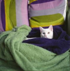 ° (333Bracket) Tags: white cute london love 120 6x6 film cat mediumformat eyes lola meow analogue blankets hasselblad501cm fujixtra400 333bracket planarcb80mmf28