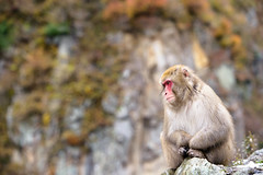 Sentinel (www.jasonarney.com) Tags: reflection japan monkey wildlife  onsen nagano saru hotsprings  snowmonkey   japanesemacaque yudanaka  snowmonkeys    jigokudanipark