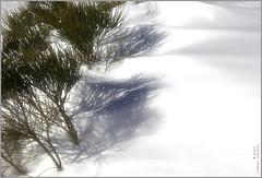 (Regine Sahmel) Tags: schnee winter snow nieve invierno pino sombras