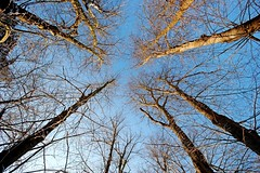 Tall Trees (3000th Photo) (DaveJC90) Tags: blue winter light shadow sky sun sunlight snow cold colour detail tree beautiful bronze silver dark gold photo suffolk flickr colours afternoon village bright snowy walk sunny diamond sharp nights stick tall straight shape 1001nights 3000 platinum premium milestone 1001 sharpness 3000th 1001nightsmagiccity mygearandme mygearandmepremium mygearandmebronze mygearandmesilver mygearandmegold mygearandmeplatinum mygearandmediamond blinkagain photographyforrecreationeliteclub