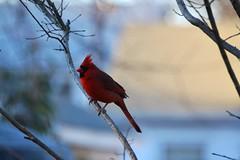 bird nature cardinal