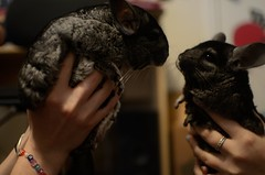 (Abstractgraces) Tags: pets cute furry adorable chinchilla ebony standardgrey blackvelvet furrythings
