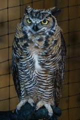 Stare (Carrie Cole Photography) Tags: wild portrait white canada bird eye nature ecology face look animal animals closeup night eyes bc close natural head background wildlife feather raptor owl wilderness predator owls captivity capilanosuspensionbridge carriecole