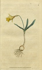 Narcissus pseudonarcissus  [as Narcissus minor]. Botanical Magazine, t. 1-36, vol. 1: t. 6 (1787) (Swallowtail Garden Seeds) Tags: illustration drawing botanicalillustration vintage vintageillustration flowers flowerillustration flower 19thcentury 19thcenturyillustration 1787 18thcentury swallowtailgardenseeds publicdomain botanicalmagazine volume1 edwards sowerby curtis plant plants blooms blossoms