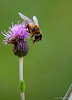 Syrphe... (jipebiker) Tags: syrphe profondeurdechamp fleur diptère dipterous insect flower hoverfly grosplan closeup