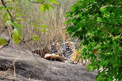 DSC_3217 (ajwhitehead1979) Tags: bengaltiger bhandavgarh india royalbengaltiger tiger