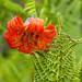 Lilium maritimum (Coast Lily)