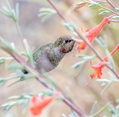 One at a Time. (Omygodtom) Tags: wildlife wild animalplanet animal anashummingbird outdoors flower flickr nature natural nikon d7100 urbunnature 70300mmvrlens real nikkor lens