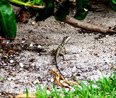 Striped basilisk (Basiliscus vittatus), Tulum, Quintana Roo, Mexico (davidvictor513) Tags: streifenbasilisk mexiko stripedbasilisk basiliscusvittatus tulum quintanaroo mexico basilisk reptil reptile lizard lzard tier dier faune fauna animale animal mexicanwildlife mexican basilicbrun basilic bruinbasilisk basilisco basiliscocaf