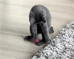 IMG_2531 (murkla_la) Tags: cat russianblue moussie gray graycat