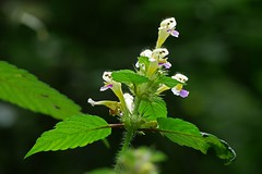 Taubnessel - Schnheit am Waldrand in der Morgensonne (waidlerwiki) Tags: taubnessel lamium blume flower bayerwald bayerischerwald nationalparkbayerischerwald nationalparkregion bavarianforest bavarianforestnationalpark bavaria germany mittelgebirge highlands