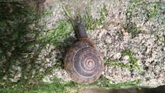 Escargot (Jane Inman Stormer) Tags: snail spiral shell slow slime mucus moss concrete invertebrate
