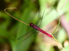 Carmine Skimmer ----Orthemis discolor (creaturesnapper) Tags: borinquenmountainresort costarica odonata dragonflies insects rincondelavieja orthemisdiscolor carmine skimmer libellulidae