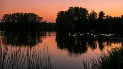 swans meeting (Florian Grundstein) Tags: nature pond swans swan bird water island reflection evening sunset sundown nikon d610 nikkor 24120 40 beautifullight mood animals fischweiher teich trees bume wasser reflektionen spiegelung abend teublitz oberpfalz bayern upperpalatinate bavaria abendstimmung