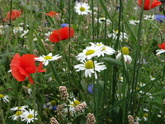 August Wild Flowers (Ian Jackson 1974) Tags: wildflowers scotland august aberdeenshire colours nature summer flickr sommer red blue white flowers green colourful poppy daisy grass