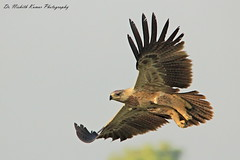 Tawny Eagle (Dr. Nishith Kumar Photography) Tags: tawnyeagle aquilarapax drnishithkumarphotography drnishith nishith nationalgeographic nationalgeographicworldwide lucknow bird birdsofindia birdphotography birdsofuttarpradesh birdinflight birdofprey raptor eagle indianbirds indianwildlife indian india canon60d canon sigma150500 sigma150500mm sgpgims sigma sgpgi safari tawnyeagleinflight animalplanet wwf wildlife wild uttarpradesh