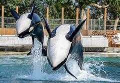 Orcas (orcamel30) Tags: keijo inouk orque orca whales dolphin dauphin marineland biot antibes d7100 nikon 55300